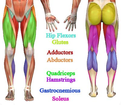 leg-and-lower-body-muscles